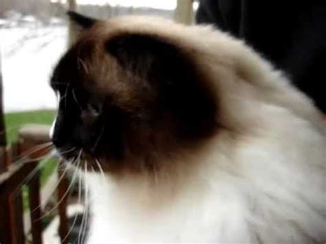 how to get your cat to stop shedding shedding blade for cats ragdoll cat reviews the jw pet