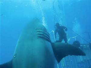 Largest Great White Shark Ever Filmed Puts 'Jaws' to Shame ...