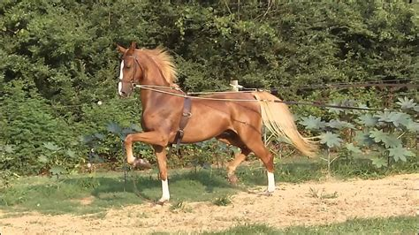 saddlebred american gelding