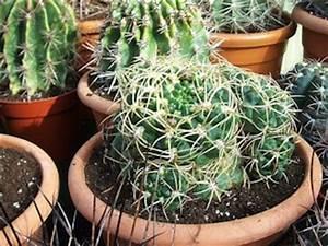 Comment Entretenir Un Cactus : cactus conseils d 39 entretien ~ Nature-et-papiers.com Idées de Décoration