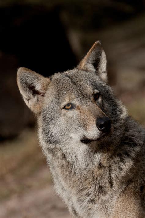 posing lol  stray wolf   deviantart
