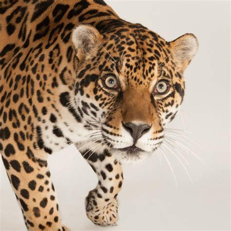 jaguar national geographic