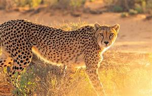 South Africa U0026 39 S Rarest  The Cheetah