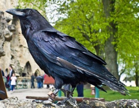 raven  stock     stock