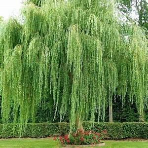 Taille Du Saule Pleureur : arbres d 39 ornement les nouvelles p pini re du gatinais ~ Melissatoandfro.com Idées de Décoration