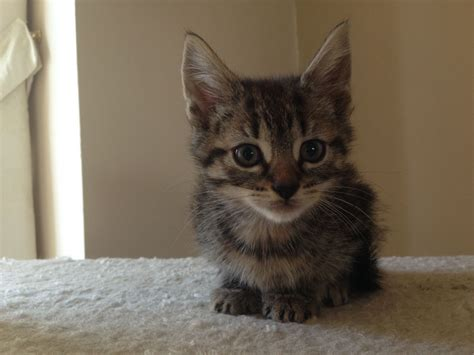 Cute Playful Kitten For Sale Ready Now!!  Wigan, Greater