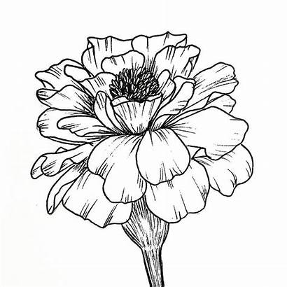 Drawing Marigold Flower Drawings Line Tattoo Flowers