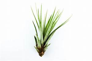 Tillandsien Im Glas : tillandsia fasciculata corsa webshop ~ Eleganceandgraceweddings.com Haus und Dekorationen