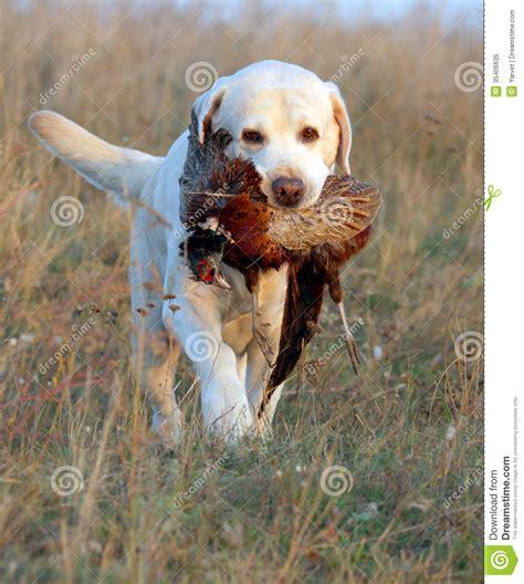sweet yellow labrador puppy portrait  colour beads stock image image