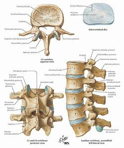 Parts of the Vertebra: Lumbar | human skeletons/anatomy ...