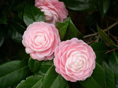 pink perfection camellia camellia japonica pink perfection my favorite camellia gulf coast garden pinterest