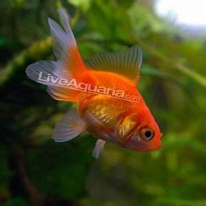 Fantail Goldfish, Red | Aquarium | Pinterest