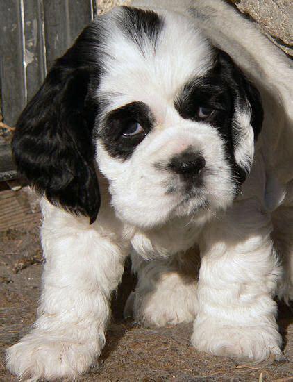 Cocker spaniel puppy 3 / 29. photo of five week old Cocker Spaniel puppy #spanielpuppies | Cocker spaniel puppies, Spaniel ...