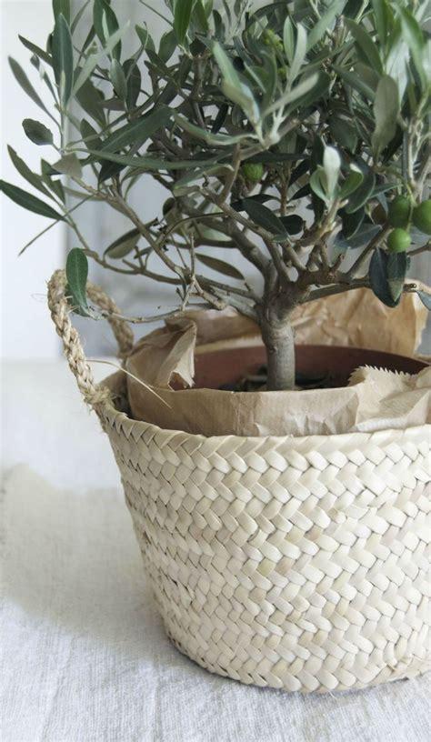 planter olivier en pot best 25 indoor trees ideas on best indoor trees indoor tree plants and inside