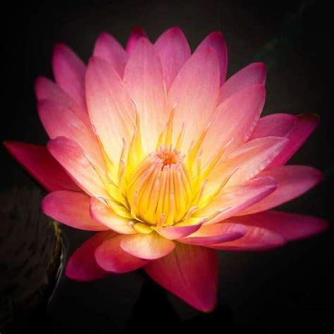 Lotus Flower Nature Photograph Blush Pink Floral