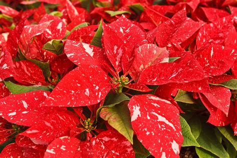 poinsettia plants poinsettias potted indoor flowers holiday plant care rocket farms