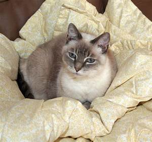 10+ ideas about Colorpoint Shorthair on Pinterest | Cats ...