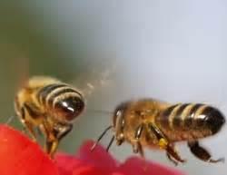Mittel Gegen Bienen : mittel gegen varroa milbe entdeckt ~ Frokenaadalensverden.com Haus und Dekorationen