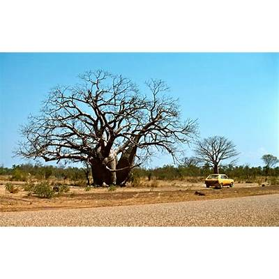 Panoramio - Photo of Boab tree (Adansonia gregorii) at
