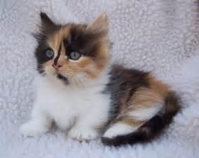 munchkin cats calico munchkin my past kittens hair