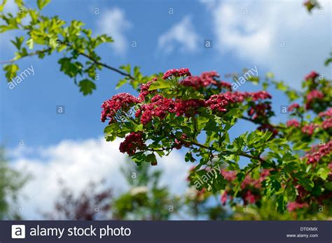 flowering deciduous trees crataegus laevigata spring flower deciduous tree pink red hawthorn stock photo royalty free