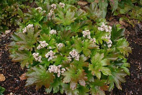 plante d ombre exterieur vivace plante vivace couvre sol mukdenia rossii 171 karasuba 187 culture