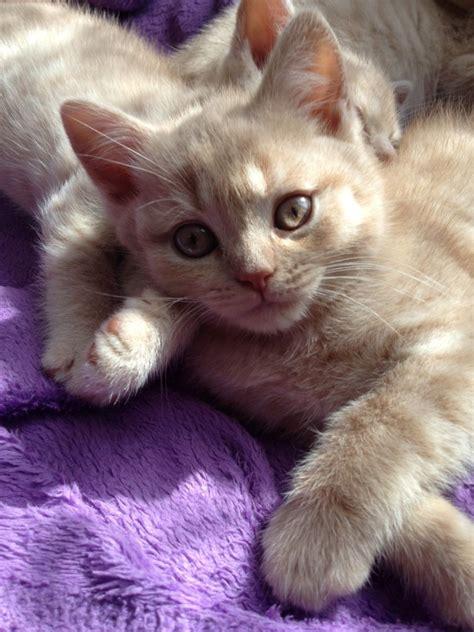 shorthair kittens for sale 3 shorthair kittens for sale sheffield south