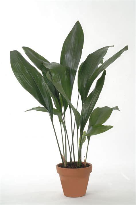 Pflanzen Gegen Staub by 11 Zimmerpflanzen F 252 R Dunkle Ecken Haus Und Garten