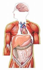 Blog Spot Go   Organs Of Human Body