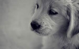 Golden Retriever Puppy Wallpaper 711622 Christmas - Litle Pups