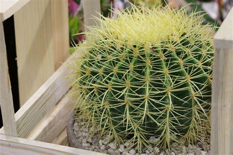 schwiegermutterstuhl goldkugelkaktus echinocactus