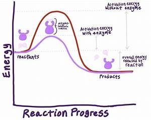 Enzymes  Rate Of Reaction