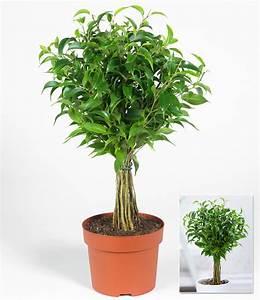 ficus am stamm babilatos 1a qualitat baldur garten With garten planen mit bonsai ficus benjamini