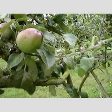 Apple Genetics And Scab Resistant Varieties Youtube