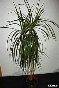 Kentia Palme Braune Blätter : yucca palme giftig gr ser im k bel berwintern ~ Watch28wear.com Haus und Dekorationen