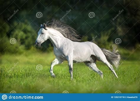 andalusian horse gallop pura summerfield raza espanola runs