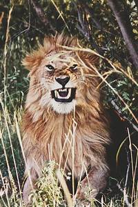 trippy lion   Tumblr