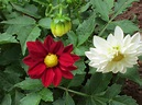 DAHLIA – A tuberous flowering plant | smallhomegardens2012