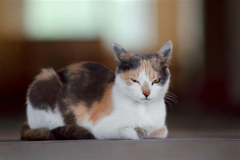 Calico Cat Breeds You'll Be Surprised To Know About