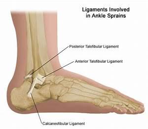 Calcaneofibular ligament : between lateral malleos of ...  Calcaneofibular