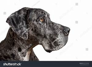 Great Dane Grey Harlequin Merle Giant Dog With Light Brown ...