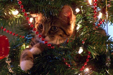 cat first seen christmas tree pictures of cats see our cat pictures and many more