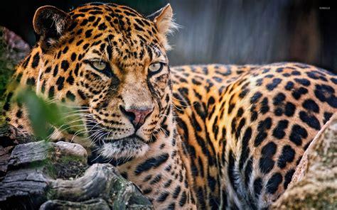 Leopard Animal Wallpaper - majestic leopard wallpaper animal wallpapers 26098