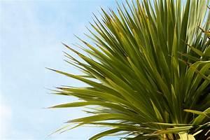 Yucca Palme Braune Blätter : yucca palme bekommt braune bl tter was ist zu tun ~ Lizthompson.info Haus und Dekorationen