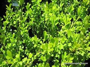 Boxwood, Wintergreen, evergreen shrub, glossy leaves | eBay