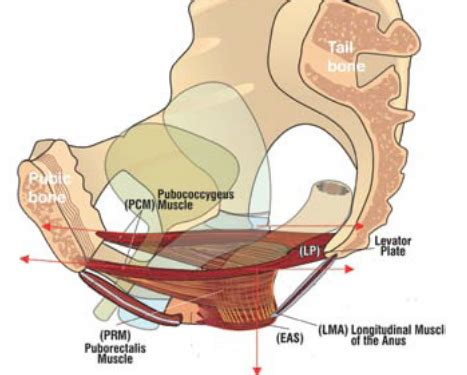 Muscles Of The Pelvic Floor In by Back Strengthening Exercises Back Strengthening Exercises
