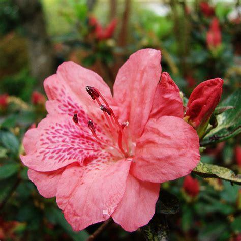 flower  azaleas bloom  spring