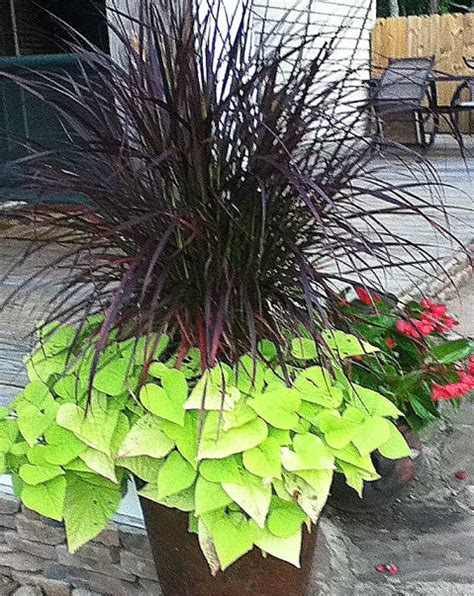annual grasses for containers mixed container plantings for summer color part 3 of a series johntheplantman s stories