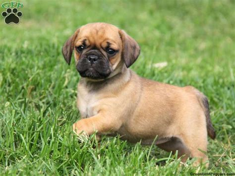 why do puggles shed so much puppies about