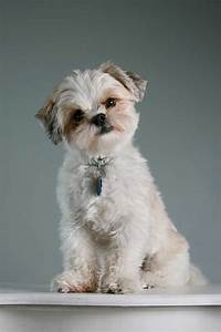 Maltese Shih Tzu Dog Breed » Everything About the Malshi